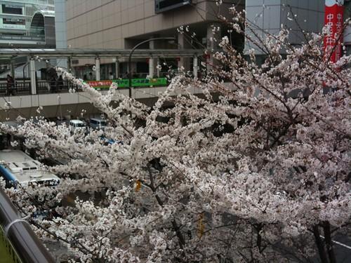 駅前の桜がほぼ満開だったよ、花見いきたいなぁ