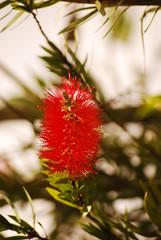 brisa roja (LUCHOPEREZ1) Tags: red flores flower hair rojo furry flor roja pelos pelitos