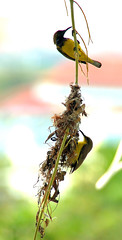 Working hand in hand (Ah Bee Panda) Tags: nest sunbird