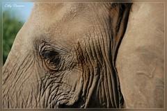 (Debby Champion) Tags: africa nature nikon wildlife safari trunk elephants botswana d200 elie tusk mashatu