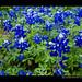 Texas Bluebonnet Books 2011 - 2012