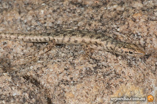 Agile snake-eyed skink (Cryptoblepharus zoticus)