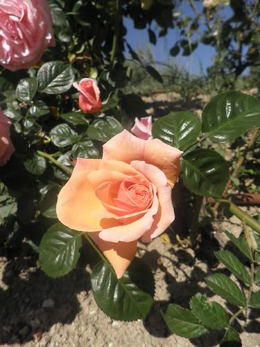 ai a rosa
