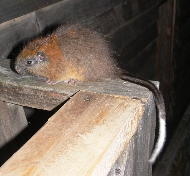 Red-crested Tree rat rediscovery after 113 years - bizare monotypic genus from El Dorado Nature Reserve