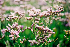 Sea Lavender #3 (Quiet Corners) Tags: sea plant color colour green slr film work 35mm dof purple kodak harbour olympus om10 200iso short manual chichester conservancy itchenor levender compulsiveproductions