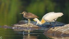 Eurasian Spoonbill (raveclix) Tags: raveclix india incredibleindia canon canon5dmarkiii sigma sigma150600mmf563dgoshsm c ranganathittubirdsanctuary migratorybirds birds bird karnataka eurasianspoonbill platalealeucorodia