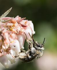 Spring is Coming (Tony P Iwane) Tags: blackdiamondminesregionalpreserve contracostacounty ebprd ebrpdok macro pittsburg california unitedstates us bee bees pollinator pollination pollinators baynature apoidea eastbayregionalparks insect insects