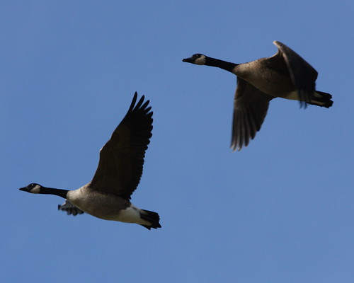 Canada Geese - #2