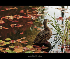 Herbst - autumn (def110) Tags: autumn fall water leaves germany duck wasser herbst impressionen freiburg ente reflexions bltter d90 digitalcameraclub nikond90 oltusfotos