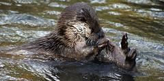 European Otter playfighting (Nick Slack (NJS photography)) Tags: derbyshire europeanotter sal75300 sonydslra200