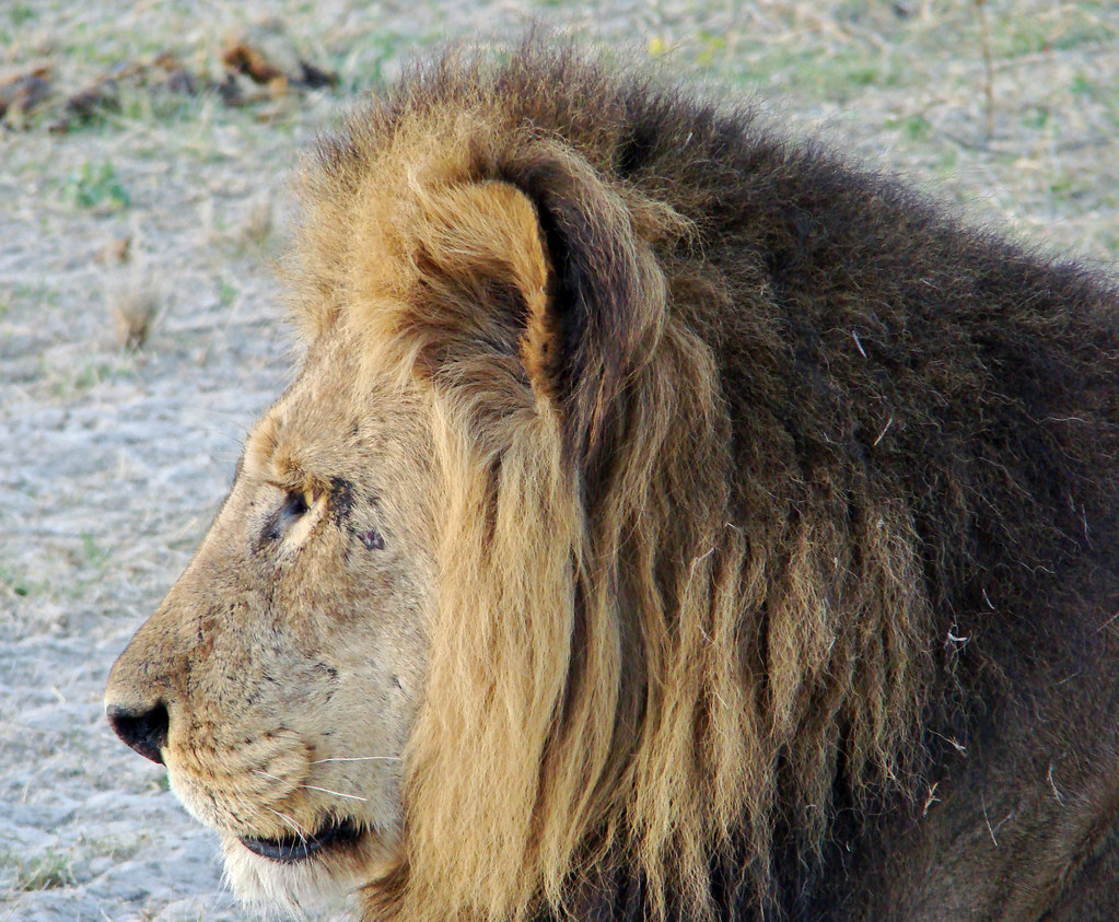 DSC08518 Lion head profile