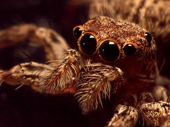 Male Jumping Spider (Professor Tanzil Tafheem f/0) Tags: world male nature beauty bug insect asian photography spider asia flickr natural tube olympus desi dhaka extension reversed bengal zuiko bangladesh jumpingspider 25mm nsu bengali bangladeshi bangali throughthelens deshi tanzil olympuse410 nsupc bangladeshiphotographers tafheem tanziltafheem shudhuibangla northsouthuniversity nsuphotographyclub malejumpingspider