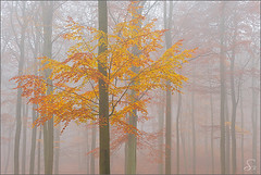 the sunny days are gone (Sandra Bartocha) Tags: autumn trees mist fall fog nebel fallcolor herbst bume dunst mecklenburgvorpommern europeanbeech buchen fagussylvatica rotbuchen wetseason herbstfrbung beechforest mritznationalpark steinmhle csandrabartocha wwwbartochaphotographycom nassejahreszeit hoheluftfeuchtigkeit