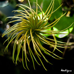 Clematis Seed Head (monteregina) Tags: flowers plants canada abstract macro nature closeup fleurs design flora patterns details clematis vine blumen curly seedhead qubec stems climber plantae ranunculaceae tails filaments seedpod plantes flore oldmansbeard virginsbower feathery abstrait travellersjoy clmatite leatherflower semences vasevine monteregine