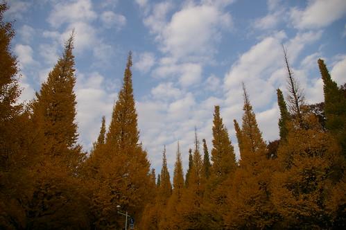 明治神宮外苑いちよう並木