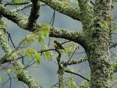 Brown-capped Weaver (Makgobokgobo) Tags: africa bird uganda weaver bwindi ploceus binp fbwnewbird fbwadded bwindiimpenetrablenationalpark bwindinationalpark ruhija browncappedweaver ploceusinsignis