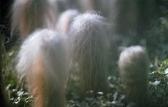 Old Man Cactus (Emily Savill) Tags: old cactus hairy man colour cute film gardens cacti canon garden 1 high kodak pennsylvania f1 pa f definition hd longwood