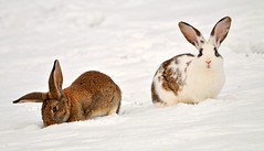 Two rabbits in the snow (Tambako the Jaguar) Tags: winter two brown white snow cute rabbit bunny bunnies switzerland nikon funny ears explore together gossau d300 grüt