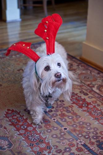 Reindeer Dog!