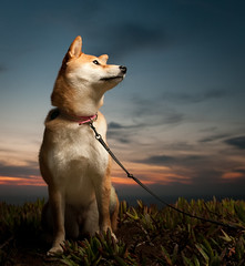 52 Weeks of Suki: 1/52 (kaoni701) Tags: sf sanfrancisco sunset red sky dog cute beach night puppy japanese nikon dusk flash 1750 wireless nikkor suki shibainu shiba tamron speedlight