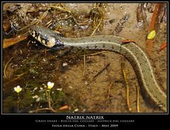 Biscia dal Collare (MrZ S) Tags: italy nature water nikon snake wildlife natura laguna nikkor d300 ngi grasssnake natrixnatrix isoladellacona 7020028vr photonature bisciadalcollare focidellisonzo natricedalcollare