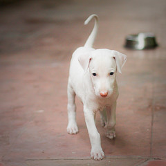 Dogs are miracles with paws. (Mimor) Tags: trip copyright dog canon puppy photography mine near weekend hunting guard southern danny breed dslr sighthound tamil royalty extinct maximus pondicherry auroville nadu dinesh kumar vanish puppyhood rajapalayam 40d puducherry primeart mimor sidnid anjaanasafar primefineart dannymaximus fotocrafter dmaximus anjaanarahi