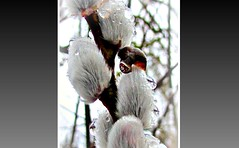 you missed Macro ? (eagle1effi) Tags: winter snow macro canon favoriten droplets flickr bestof dof photos selection powershot dew fotos tau myfave picnik sx1 auswahl wassertropfen beste damncool masterclass botanischergarten arboreum selektion iso80 canonmacro bridgecamera ev23 aperturef28 lieblingsbilder eagle1effi byeagle1effi ae1fave aperturepriorityae yourbestoftoday canonsx1is canonpowershotsx1is exposuremodeautobracket sx1best tbingem sx1isbest sx1fave canonsx1ispowershot trpfle macromodenormal frozenwaterdropsdroplets trpfli tagesbeste