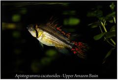 cacatuoides_macho_800_01 (Bruno Cortada) Tags: malawi marino mbunas cclidos sudafricanos tanganyica
