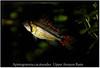cacatuoides_macho_800_01 (Bruno Cortada) Tags: malawi marino mbunas cíclidos sudafricanos tanganyica