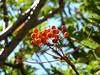 Sommet de Punta di A Bambiola : fruit du sorbier des oiseleurs