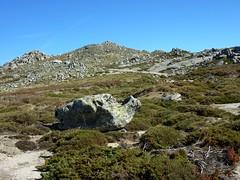 Le sentier de la crête de Prunu au Nord de la Punta di A Bambiola : les genêts de Lobel