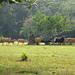 Banteng @ Ujung Kulon National Park