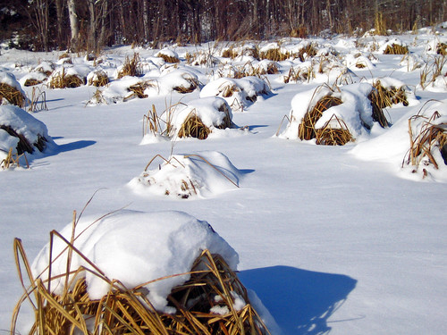 Snow Covered Frozen Marsh