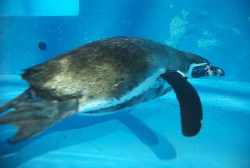 がんばるフンボルトペンギン