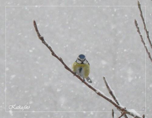 Kékcinege a fán a madáretetőre vár -  és...