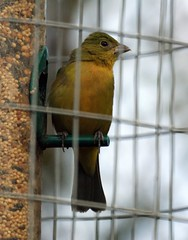 Female Painted Bunting at Feeder