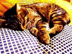Katinas Koksas miega (danges2010) Tags: picnik gamta katinas gyvūnai