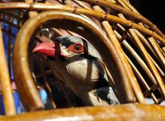 Chakor 2720 thumb (Visual News Pakistan) Tags: pakistan birds chakor visualnews
