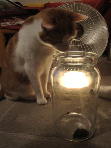 Photo of cat, Dixon, looking at a mouse trapped in a jar