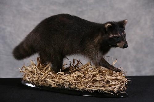black raccoon mount the hunting beast