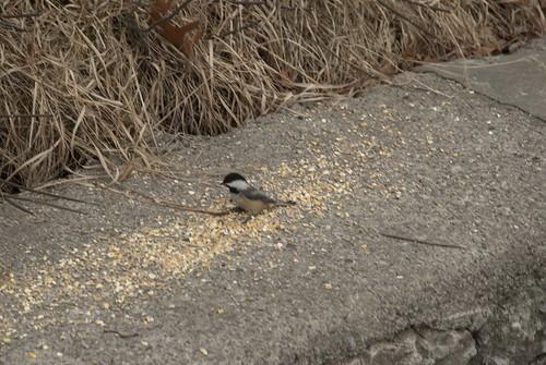 Chickadee: Feed