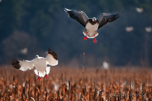 Incoming Geese
