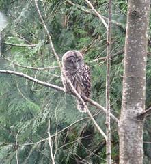 BarredOwl3 (kayrocks1) Tags: window outside owl barred a