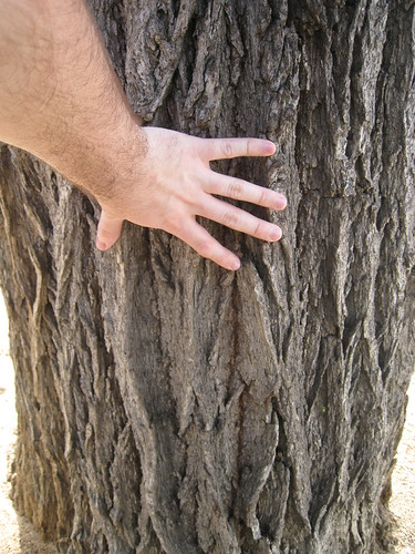 elm trunk with hand for scale