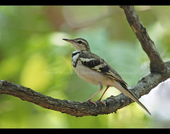 Birds of Sri Lanka , Species No 72 (Sara-D) Tags: bird nature birds forest canon wildlife aves migratory srilanka ceylon wagtail indicus migratorybird motacillidae forestwagtail dendronanthusindicus specanimal asianwildlife mywinners dendronanthus birdsofsrilanka thewonderfulworldofbirds birdsofsouthasia wildsrilanka