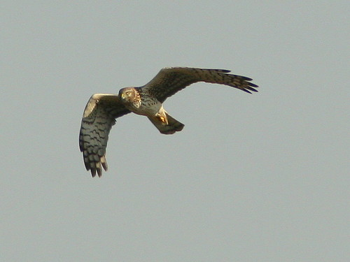 Northern Harrier 2-20100325