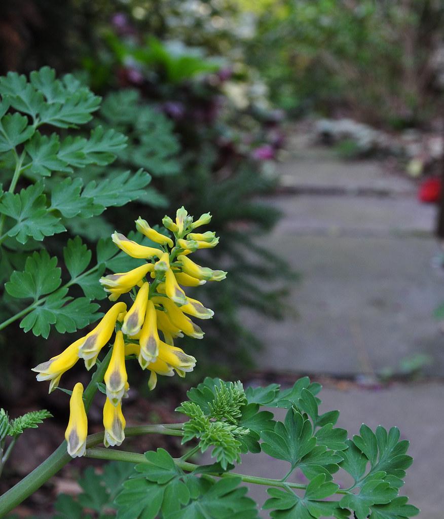 Pseudofumaria (Corydalis) (2)