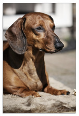 Morning Sun... (Buikschuivers) Tags: alex dachshund teckel mrlongnose