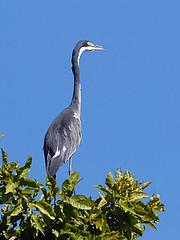 Black Headed Heron, South Luangwa