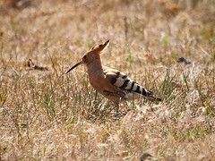 Wiedehopf / Hoopoe (Upupa epops) (Sexecutioner) Tags: bird nature birds animal animals canon germany deutschland tiere hessen wildlife natur hop vgel poupa upupaepops hoopoe tier vogel hatching nauheim 2011 dudek wiedehopf puput upupa eurasianhoopoe abubilla huppefascie hoephoep harjalintu hrfgel  grosgerau brtend  upupaepopsepops  hrfugl  ibibik vaenukgu  copyrightsexecutioner  smrdokavra pupavac dudekchocholat bbosbanka upupo krammetsvogel puvogel  herfuglur  badadzeguz dudokchochlat hoppevogel langwiede hupatz wehdwinde   commoneurasianhoopoe toonetutt pupavacboijak hupotunggal herfugl  dudutis kukutis luputis  pup htht